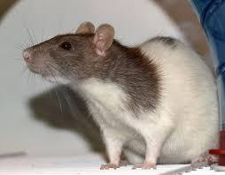 Mice Pest Control perth